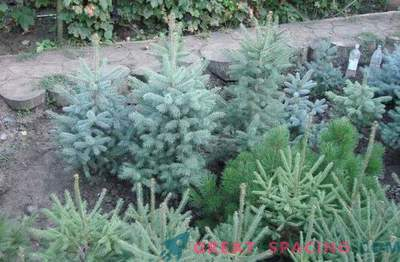 Садници на иглолисни растенија